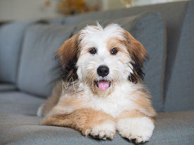 Happy Smiling Bernedoodle Puppy Lying Down On Couch Looking at Camera