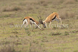 thomsons_gazelle_battle_33