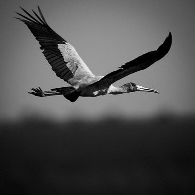 6029-Bird_Laurent_Baheux