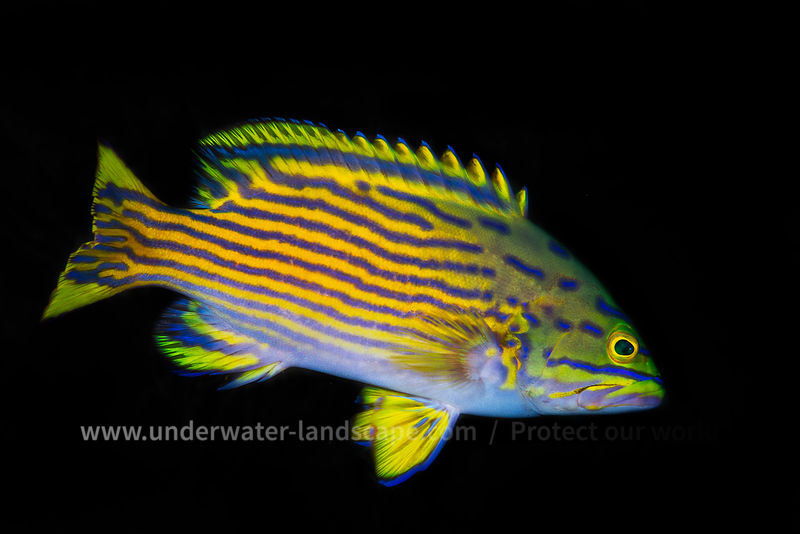 Harlequin hind - Deep fish