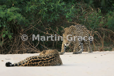 Female Jaguar 'Hunter' (Panthera onca) lies down in front of 'Hero' who watches her very closely, Three Brothers River, Nothern Pantanal, Mato Grosso, Brazil. Image 48 of 62; elapsed time 1h 41mins