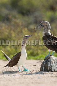 blue_footed_booby_north_seymour-47