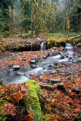 Bigleaf Maple leaves carpet the banks of a rainforest creek along the Hoh River, Olympic Peninsula, Washington.
