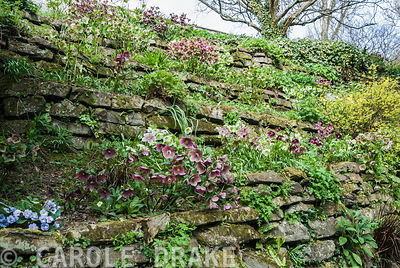 Terracing above a path planted with hellebores. Marwood Hill Gardens, Barnstaple, Devon, UK