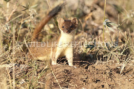 long_tailed_weasel_full_body_posture_1