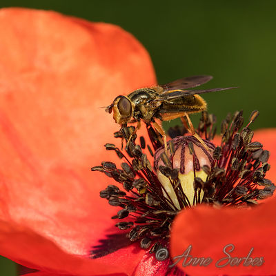 Syrphes (Syrphidae) photos