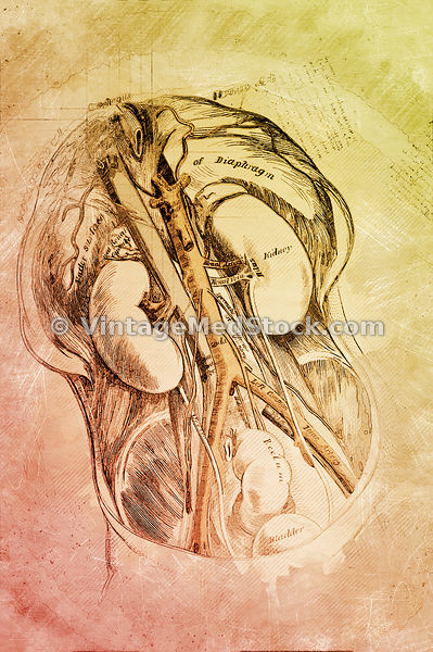 Healthy Kidneys | Digital Illustration