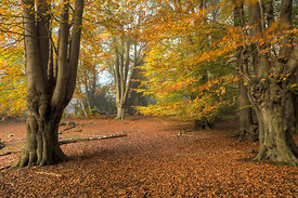 Autumn in the Beech Wood
