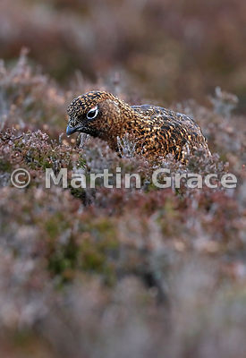 Female Red Grouse (Lagopus lagopus scotica) feeding on Heather (Ling) (Calluna vulgaris), early January, Lochindorb, Scottish Highlands