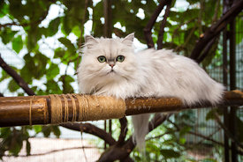 Persian cat on a bamboo perch