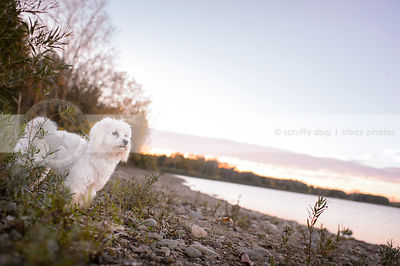 small white groomed dog standing on stony on beach