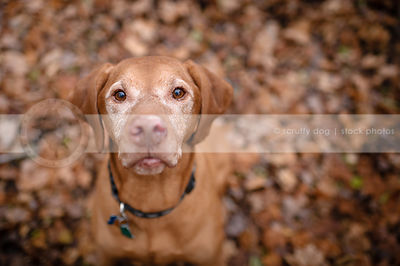 handsome old red gundog looking up from autumn leaves