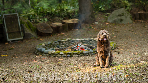 Labradoodle Backyard