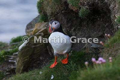 An Atlantic Puffin (Fratercula arctica) stands outside its nest burrow on the cliff-top at Sumburgh Head (RSPB), Mainland South, Shetland