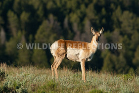 pronghorn_doe_look