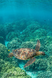Green Sea Turtle Swimming among Coral Reefs off Big Island of Hawaii