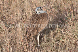 White Bellied Bustard Neck In Horizontal 1