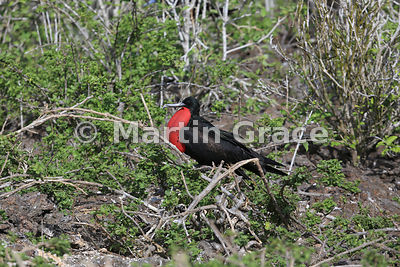 Great Frigatebird male (Fregata minor ridgwayi) with gular pouch inflated, Darwin Beach, Genovesa, Galapagos Islands