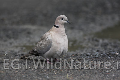 Eurasian collared-dove/Tyrkerdue - Norway