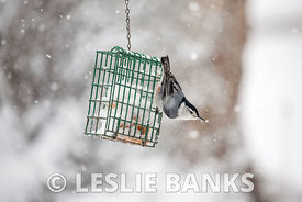 Nuthatch eating in the snow