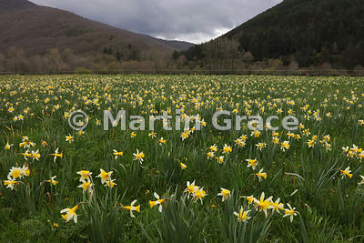 Wild Daffodils in a wet meadow, Boca de Huergano, Castilla y Leon, Spain