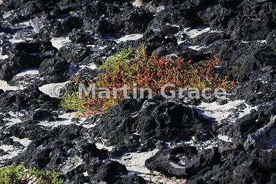 Galapagos Carpetweed (Sesuvium edmonstonei) growing in lava on the shore of Sombrero Chino, Galapagos