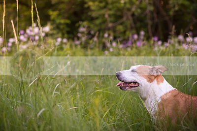 portrait of senior tan and white dog in meadow grasses