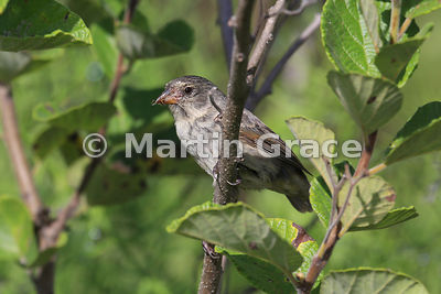 Sharp-Beaked Ground Finch (Geospiza difficilis), Santa Cruz, Galapagos Islands