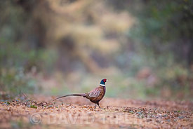 Common Pheasant Phasianus colchicus male in woodland November Norfolk