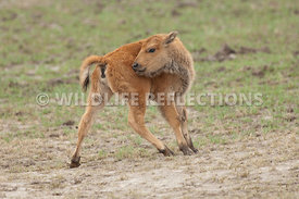 bison_calf_itch