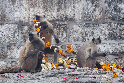 Langur monkeys eat discarded flower garlands at the Ajaypal Shiva Temple, near Pushkar, Rajasthan, India