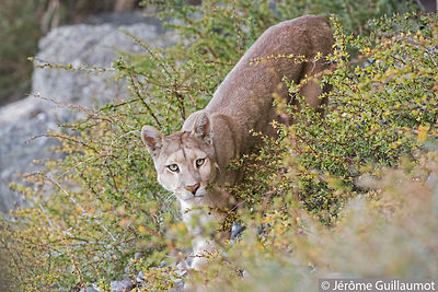 Close encounter with a wild Puma at Torres Del paine (Chile) photos