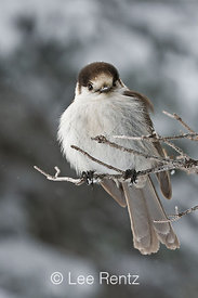Gray Jay (Perisoreus canadensis) perched on a branch during a snowstorm on Hurricane Ridge, Olympic National Park, Olympic Peninsula, Washington, USA, March, 2009_WA_8108