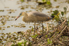 whistling_heron_marsh_hunting-16