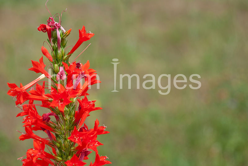 Nature Stock Photos: red flower in left side of frame