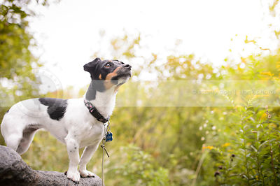 tricolored jack russell perched on a rock in summer