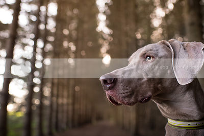 headshot of alert grey dog in natural setting