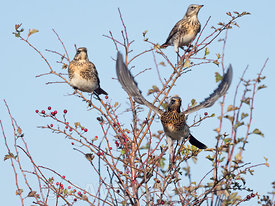 Fieldfares Turdus pilaris newly arrived migrants from continent along hedgerow North Norfolk October