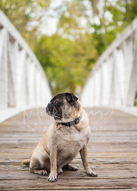 Pug sitting in profile on bridge