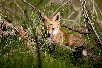Red Fox_MG_5381