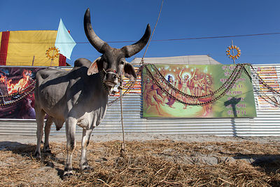 A bull with very large horns (sp.) at a Hare Krishna tent at the 2013 Kumbh Mela, Allahabad, India.