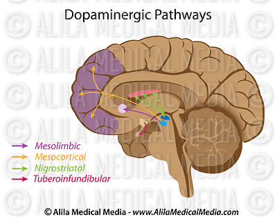 Dopaminergic pathways unlabeled.
