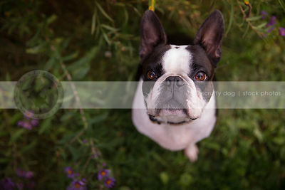 headshot of black and white dog staring upward from flowers