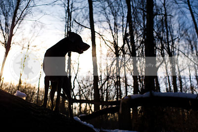 silhouette of dog perching on log in winter sunset