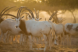 Scimitar-horned oryx found on the wildlife resort of Sir Bani Yas Island in Abu Dhabi.