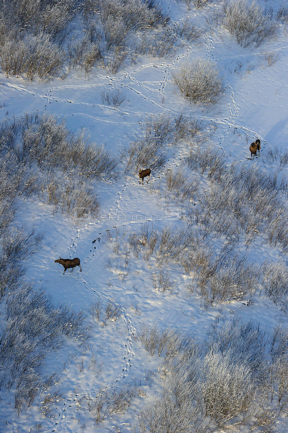 Aerial view of three Moose (Alces alces) feeding on Willow bushes in snow, Tartumaa, Estonia, January.