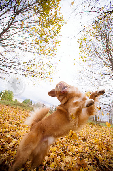 crazy fun dog jumping leaping dancing playing in autumn leaves