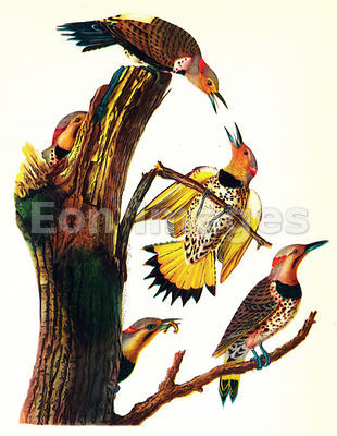 Audubon print Golden-winged Woodpecker