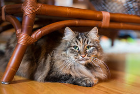 longhaired tabby cat resting on floor under wicker ottoman