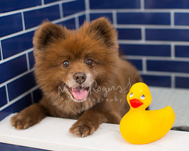 Smiling Brown Dog Lying next to Rubber Duck Toy